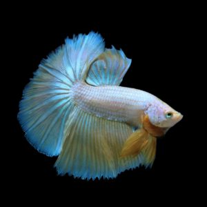 Live stock Tropical and cold water fish